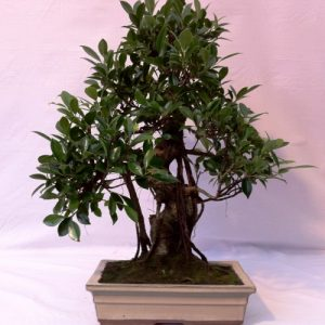 Bonsai di Ficus Retusa vaso 30 cm