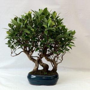 Bonsai di Ficus Retusa Bosco vaso 20 cm