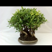 Bonsai di Ficus Retusa Bosco vaso 30 cm