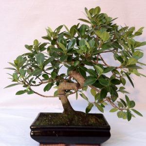Bonsai di Ficus Panda vaso 25 cm