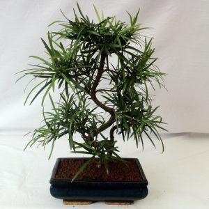 Bonsai di Podocarpo vaso 25 cm