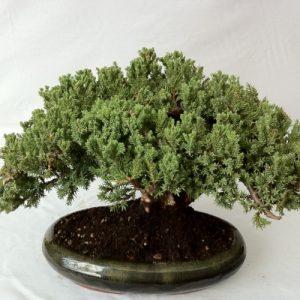Bonsai di Ginepro Procumbens vaso 24 cm