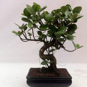 Bonsai di Ficus Panda vaso cm 20