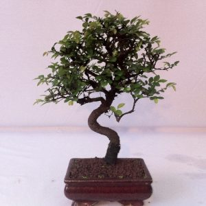Bonsai di Zelkova vaso cm 15