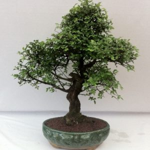 Bonsai di Zelkova vaso 30 cm