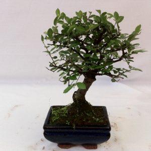 Bonsai di zelkova vaso cm 10