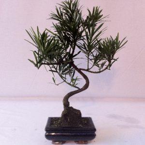 Bonsai di Podocarpo vaso 15 cm