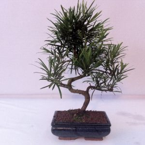 Bonsai di Podocarpo vaso 20 cm