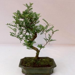 Bonsai di Pepper vaso cm 20