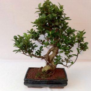 Bonsai di Ficus ginseng vaso cm 28
