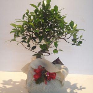 Bonsai con confezione natalizia