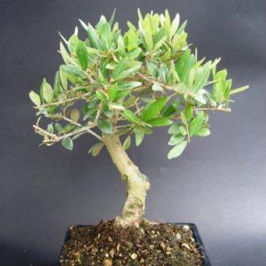 Bonsai di Olivo cm 20