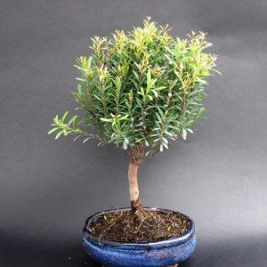 Bonsai di Syzygium cm 15