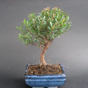 Bonsai di Syzygium cm 12