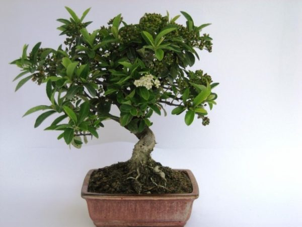 Bonsai di Piracanta