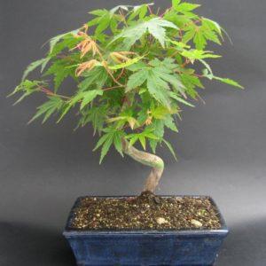 Bonsai di Acero Palmato vaso 25 cm