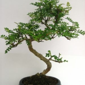 Bonsai di Pepper vaso 15 cm