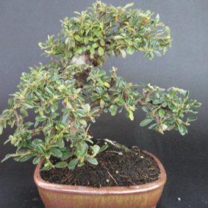 Bonsai di cotoneaster microphyllus cm 15