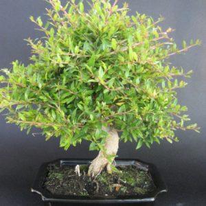 Bonsai di Melograno cm 20