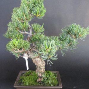 Bonsai di Pino Pentaphilla cm 15