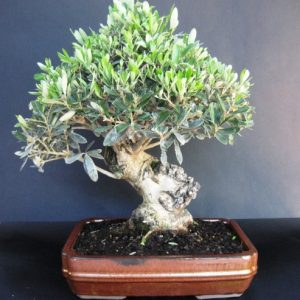 Bonsai di Olivo cm 30