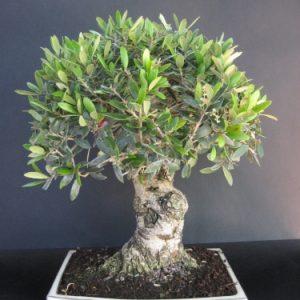 Bonsai di Olivo cm 28