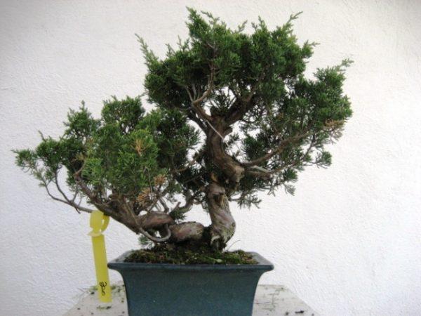 Bonsai di Ginepro Itoigawa Giapponese