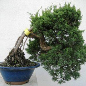 Bonsai di Ginepro Itoigawa Giapponese cascata