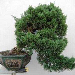 Bonsai di Ginepro Chinensis